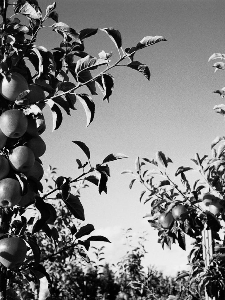 Äpfel und Birnen mitten in der Stadt
